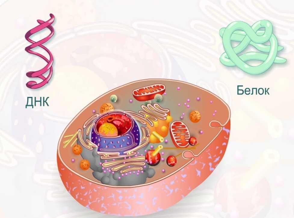 клеточный белок